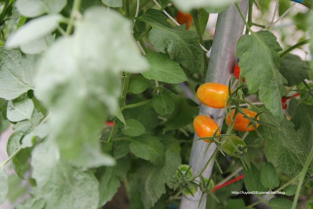 番茄 (12)