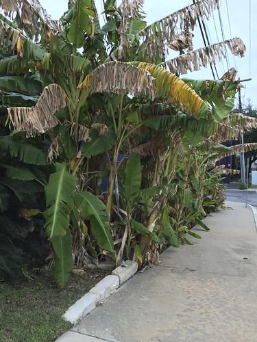 Banana Trees???