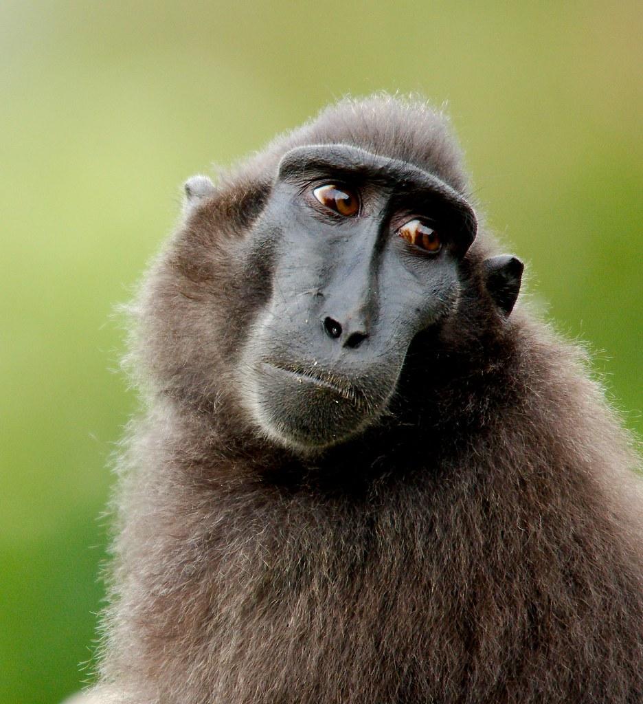 Sulawesi Crested Black Macaque (Macaca nigra)_9