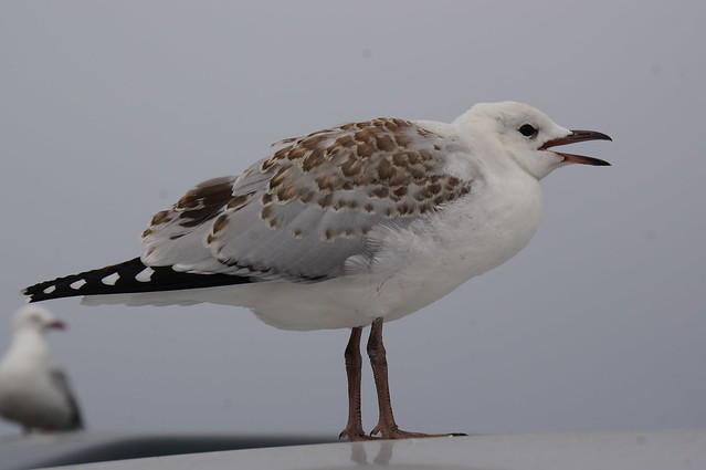 Juvenille red beaked gull