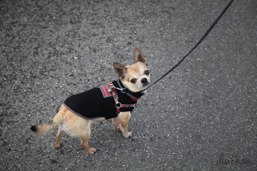 chihuahua sweater winter black knit harness leash outdoor street cold walk walking tiny small breed dog short haired smooth coat beige tan cream white black brown male adult