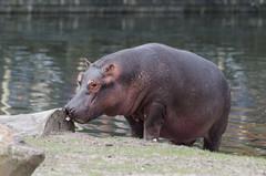 Flusspferd / Hippo