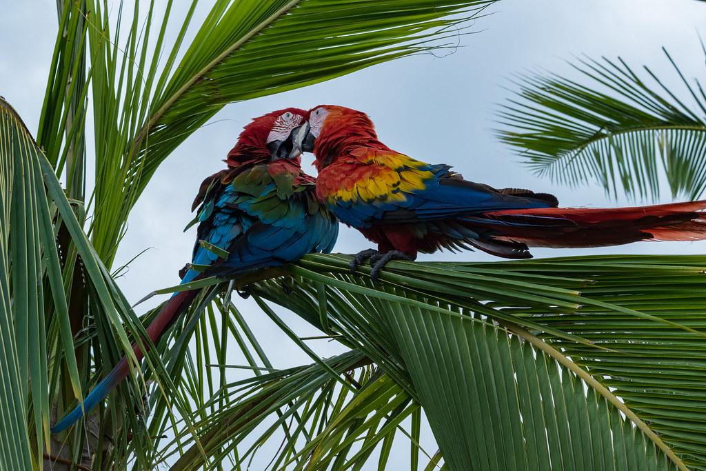 Papagei Aras