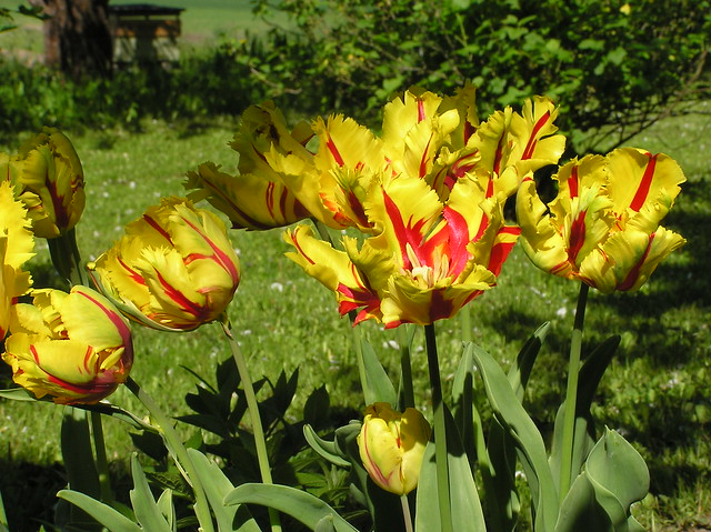 Tulipa 'Texas Flame'