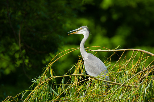 Breeding success, West Park: heron on a tree