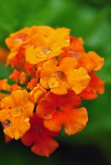 Water and Orange Lantana Camara in Hafer Park in Edmond, OK - Spring 2010