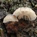 Mycena corticola - Photo (c) Amadej Trnkoczy, some rights reserved (CC BY-NC-SA)