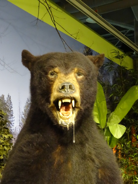 00500478美洲黑熊
