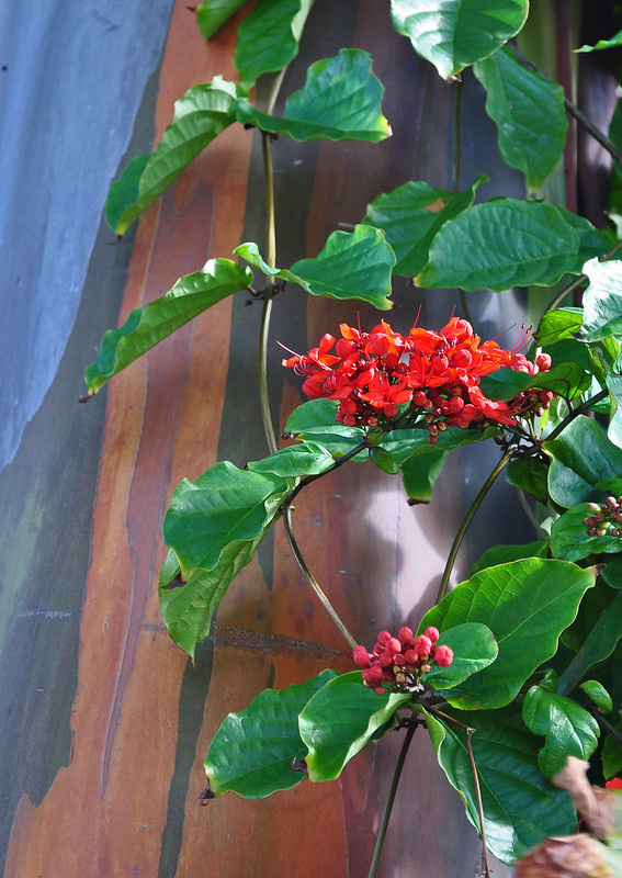 Clerodendrum splendens and Eucalyptus deglupta