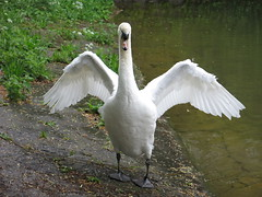 Swan at the Feuersee