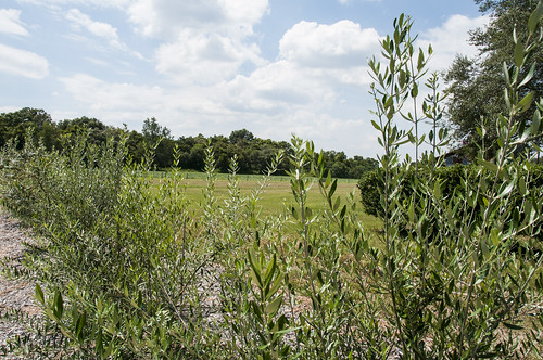 An experimental plot of seven varieties of olive trees grows on Richard McGinley's Florida farm. NRCS photo.