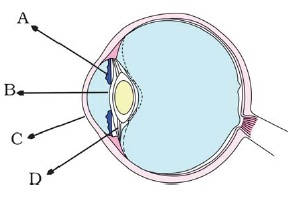 Class 8 important questions for science light aglasem schools in the figure of the human eye fig165 the cornea is represented by the letter ccuart Gallery