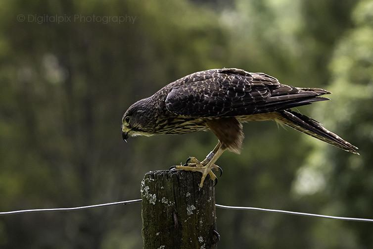 New Zealand Falcon - Kārearea