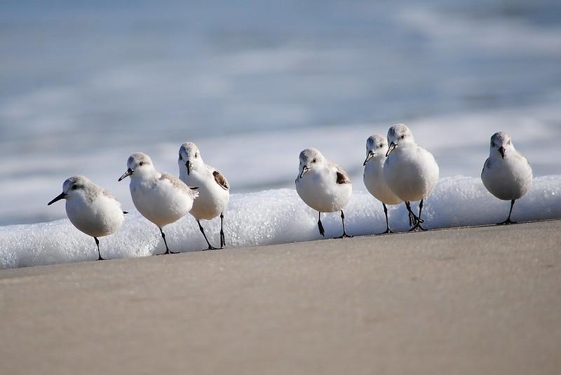 Sanderling (Песчанка )