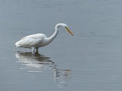 animal, wing, fauna, great egret, heron, pelecaniformes, beak, bird, wildlife,