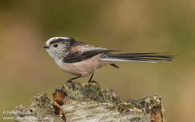 Long tailed tit 2-2