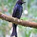 Crow-billed Drongo