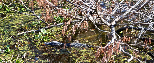 gator in water - jean lafitte swamp tours