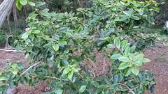 PereskiaGrandifolia_20141126_KokoCraterBG_Cutler_155532