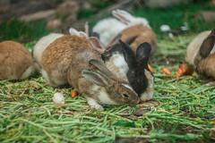 animal, hare, rabbit, domestic rabbit, pet, fauna, wood rabbit, whiskers, rabits and hares,
