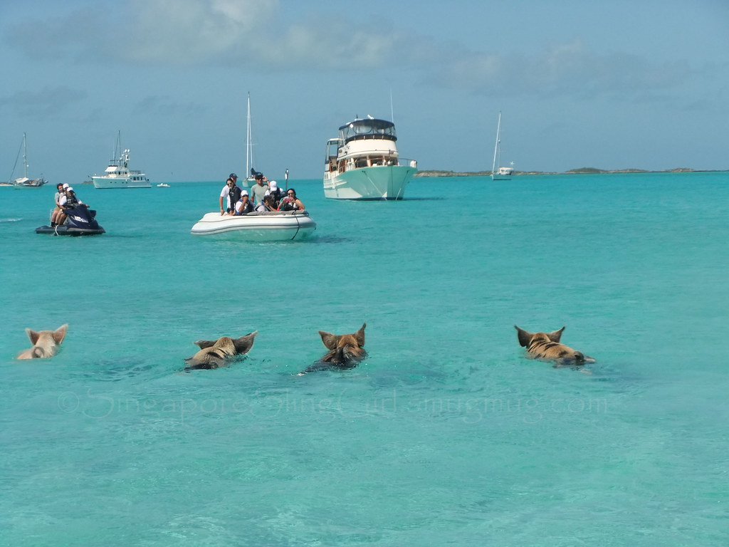 Swimming Pigs, Major Cay Exumas.