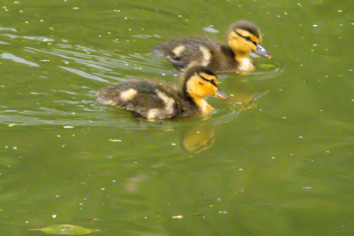Duck and two ducklings revisited