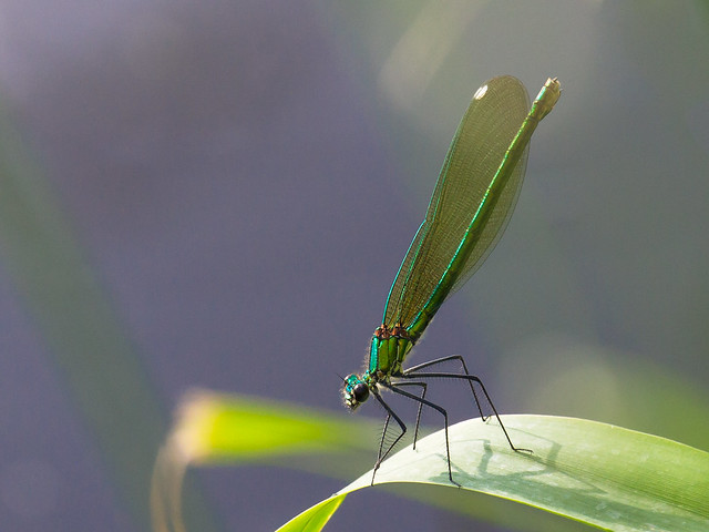 Mrs. Metallic Green (Uli)