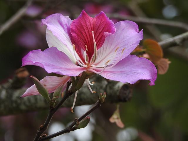 Bauhinia flower