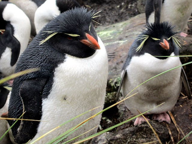 Rockhopper penguins in the Falkland Islands.  Image credit: David Stanley (CC-BY)