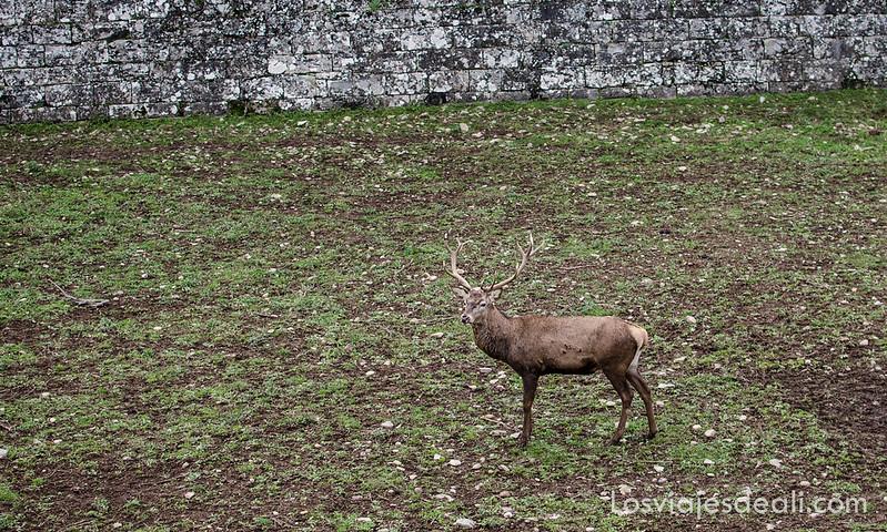 ciervo en la fortaleza de Jaca en la Jacetania