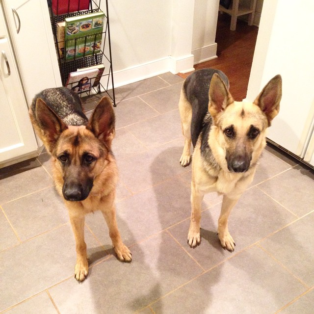 With bated breath #ears #beggars #gsdlife #germanshepherds #twinmotives