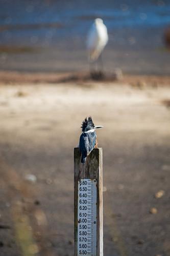 nature birds photography unitedstates florida bokeh wildlife birding kingfisher animalplanet sonyalpha stmarkswildliferefuge smwr sigma150500f563 sonyslta99 kimmienflorida
