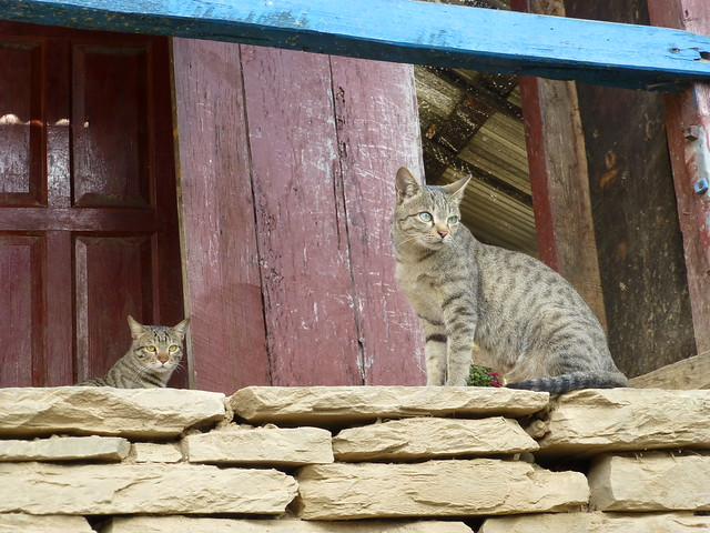 Nepalese Cats