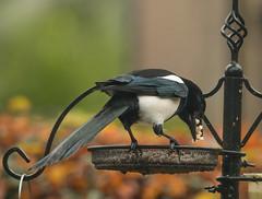 Greedy Magpie