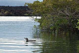 Galapagos Penguin in Mangroves