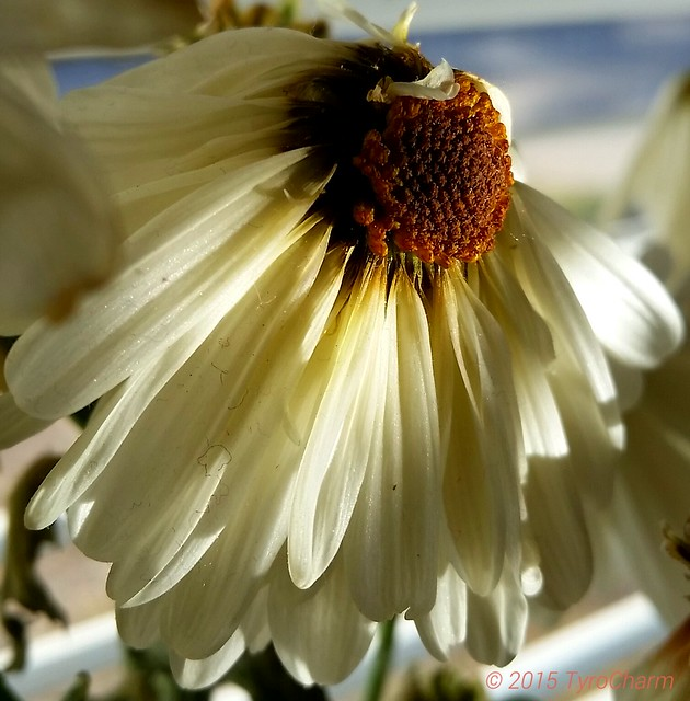 Sunlight was reflecting from a tin can upon my bouquet of Daisies which were beginning to dry out.   #flowers #floweroftheday #Daisies #photography #sunlight