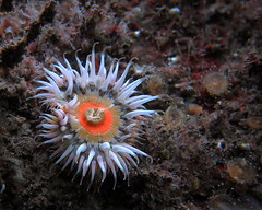 HolderElegant anemone. Credit: Dr Leigh Howarth