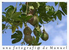 Frutos de pasiflora