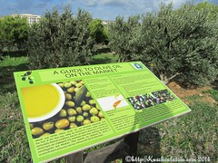 ©Tom Hillenbrand Tödliche Oliven Malta 2014 Olivenbäume mit Market-Guide