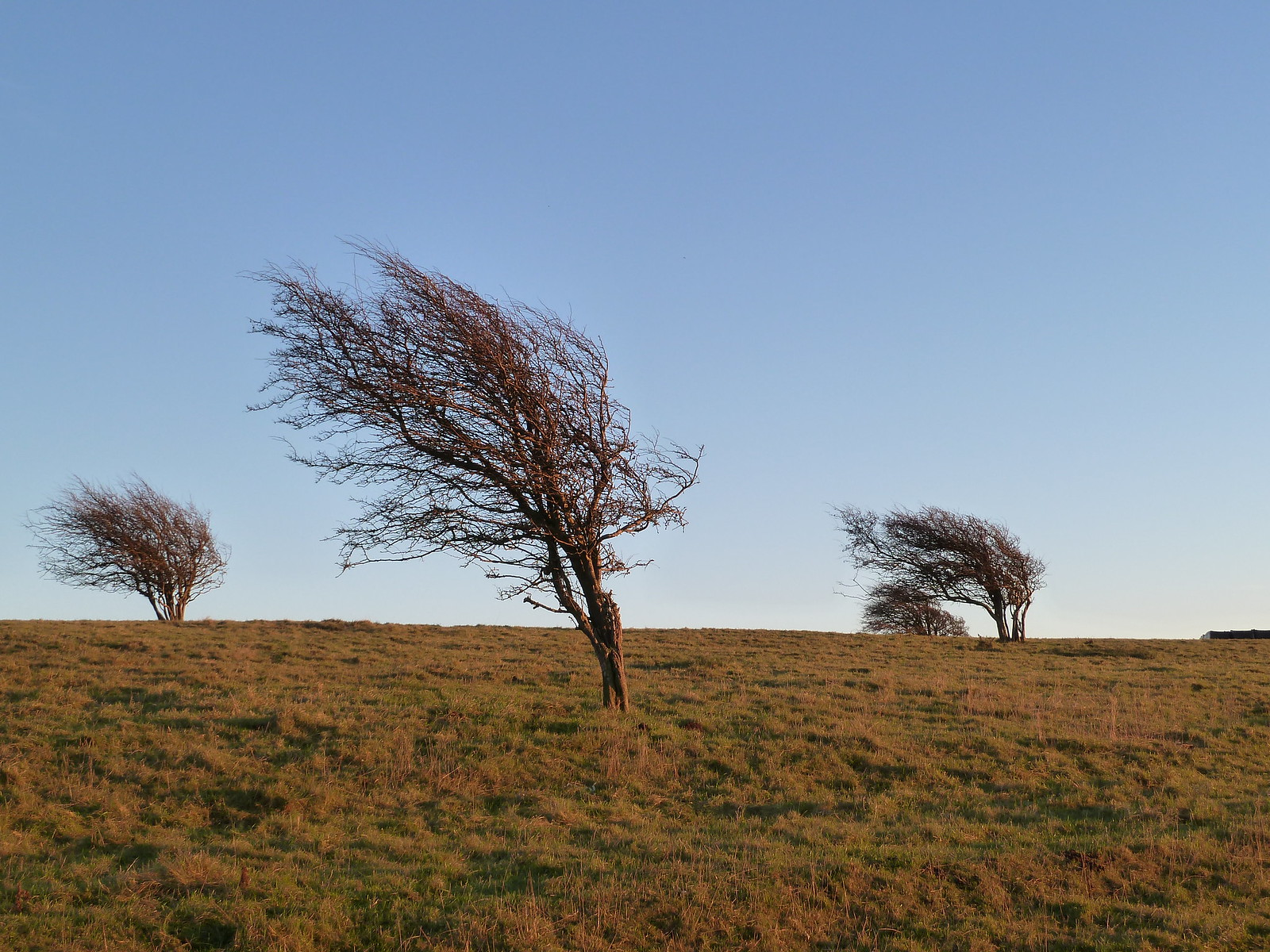 Windswept trees in late afternoon light (Berwick to Birling) Trees bent by the wind are still on a calm day on South Downs Way.