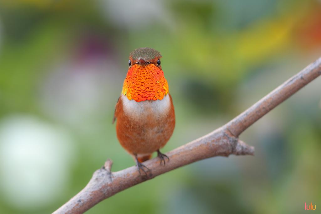 Allen's Hummingbird-120714