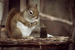 animal, squirrel, pet, mammal, fauna, close-up, whiskers,