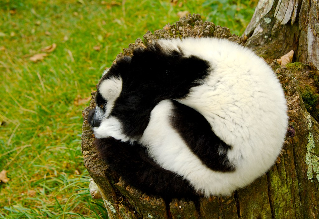 Black-and-white Ruffed Lemur (Varecia variegata)_6
