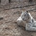 White Tiger/Pittsboro