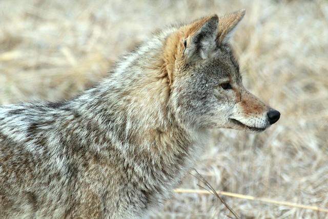 flickr the honoring coyotes sk 39 elep kamloops pool. Black Bedroom Furniture Sets. Home Design Ideas
