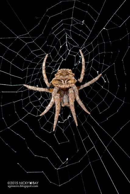 Tree-stump orb web spider (Poltys sp.) - DSC_6646