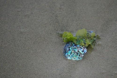 Paua shell find on Māori Beach