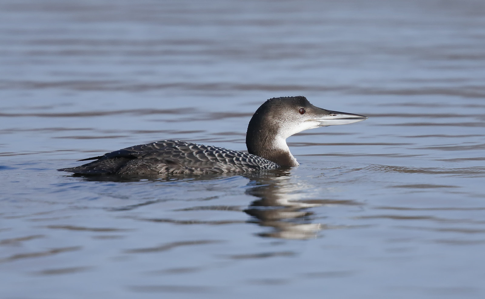 Juv. Great Northern Diver