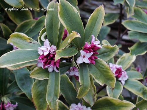 Daphnee odora aureomarginata