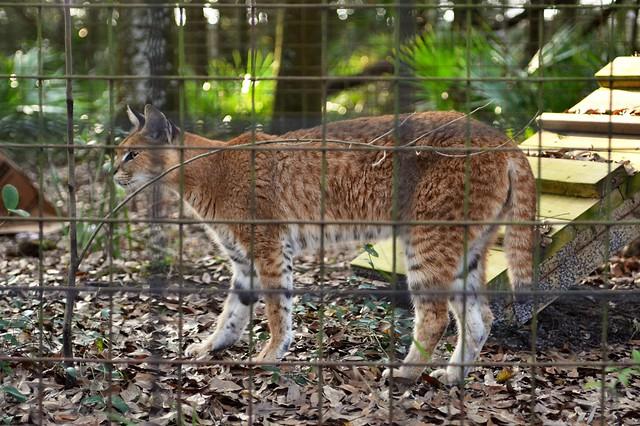 Serval/Caracal Hybrid